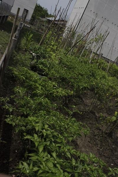 Tanaman Cabe Organik yang Ditanaman Ibu- Ibu Kelompok Desa